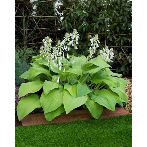 61 best plants hosta images on pinterest gardening landscaping hosta t rex 30 inches tall 6 feet wide mightylinksfo