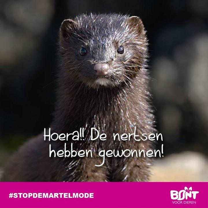 Bont Voor Dieren: Glorieuze overwinning voor de zes miljoen nertsen in Nederland! http://www.bontvoordieren.nl/glorieuze-overwinning-voor-de-zes-miljoen-nertsen-in-nederland/