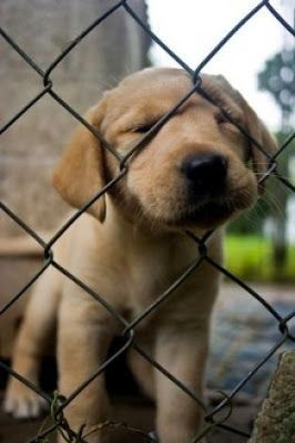 the cutest lab puppies to make your day better #labrador #puppy