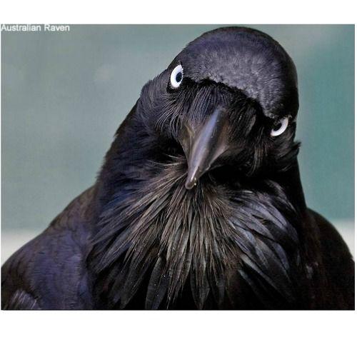 Raven Symbolism & Raven Meaning | Power Animals