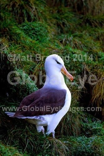 Black Browed Albatross. Black Browed Albatross courting Pair of Black Browed Albatross performing courtship rituals during breeding season on Macquarie Island. These large seabirds can live up to 70 years.Photograph By Matt   Brading #WildlifePhotography