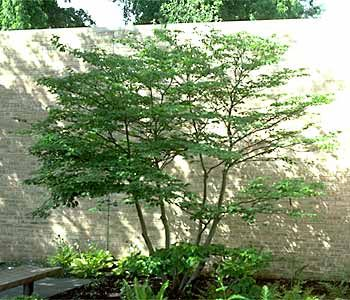 Cornus alternifolia, Pagoda dogwood   small flowering tree
