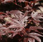 Acer Palmatum 'Bloodgood'  Plant in pot filled with ericaceous compost. Keep well-watered.