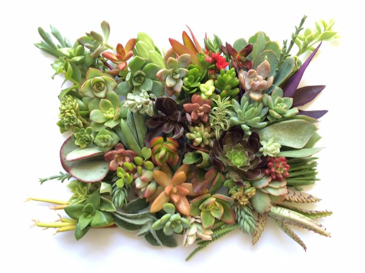 ON SALE Succulent clippings, succulent cuttings,  100 Mixed Succulent cuttings - $52.79 USD