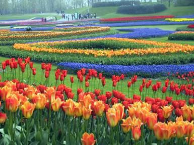 Dutch Spring Tulips in the Netherlands - Tulip Picture (c) Linda Garrison