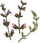 Salie komt oorspronkelijk uit de landen in de Balkan en rond de Middellandse Zee. Salie vindt men overal in Zuid Europa, tot op een hoogte van 800 meter en is vaak te zien in de tuinen van de Provence. Salie wordt nu overal gekweekt, en komt zelden verwilderd voor. http://www.natuurlijkerwijs.com/salie.htm