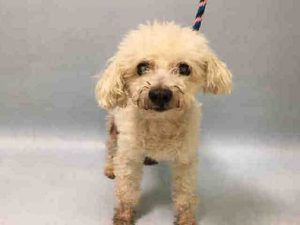 SUPER URGENT Manhattan Center THUMPER – A1101030 NEUTERED MALE, WHITE, POODLE TOY MIX, 13 yrs STRAY – ONHOLDHERE, HOLD FOR OWNER DIED Reason OWNER DIED Intake condition GERIATRIC Intake Date 01/04/2017 http://nycdogs.urgentpodr.org/thumper-a1101030/