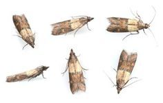 The Quick Way to Stop a Pantry Moth Infestation: Pantry Moths (Indian Meal Moth)
