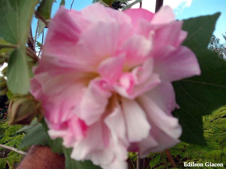 Hibisco Mutabilis Arbóreo ou Rosa Maluca ou Malva Arbórea  ( Hibiscus mutabilis ) De manhã flores brancas, a tarde as flores ficam rosas, foto tirada durante a transformação, dá para ver a flor se tingir de rosa. - Edilson Giacon - Viveiro Ciprest - Mudas de Hibisco Mutabilis