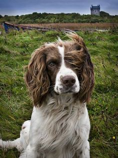 www.pinterest.com/1895gunner/ | The French Spaniel (Epagneul Français) was developed in France as a hunting dog, descended from dogs of the 14th century & are one of the oldest pointing breeds.