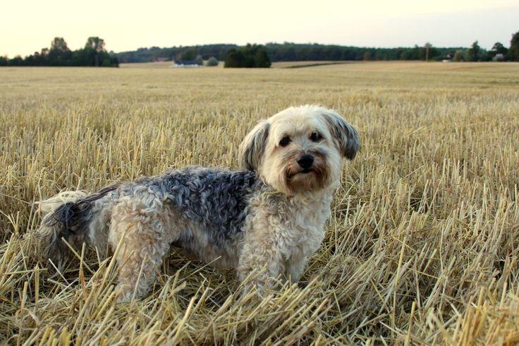 Roxannes Hundvardag - Dag 3 – Om mina hundraser. Max bichon havanais and yorkshire terrier