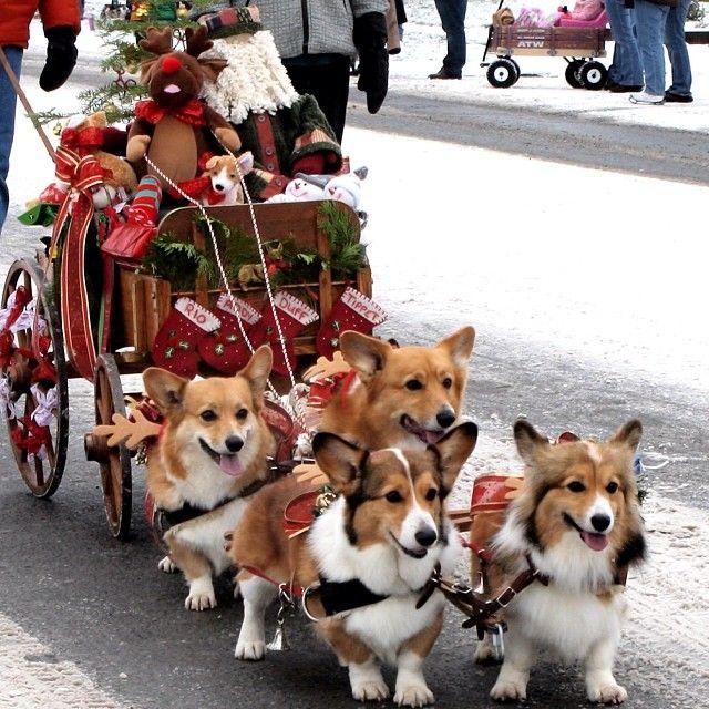 Christmas corgis!
