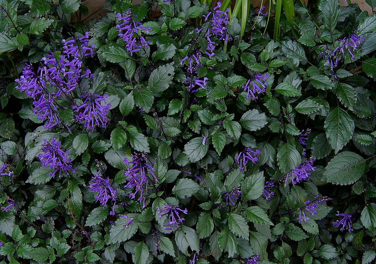 mona lavender plectranthus part shade plant long bloom season outdoor and garden. Black Bedroom Furniture Sets. Home Design Ideas