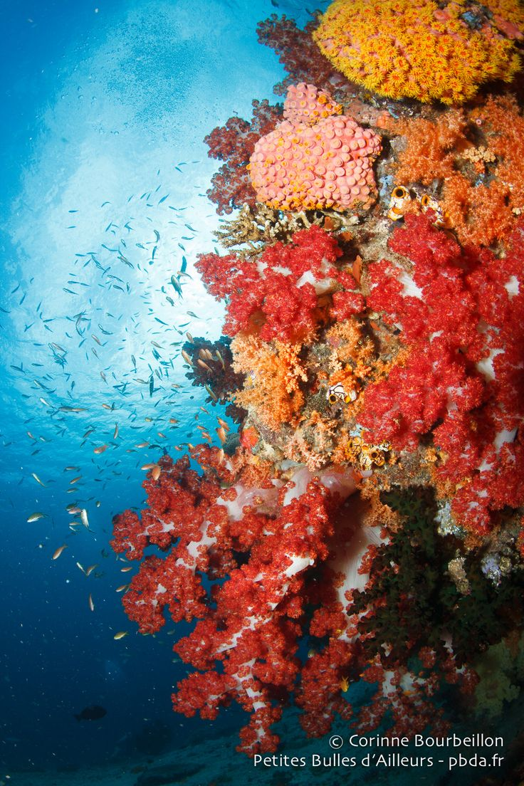 Coraux mous multicolores. (Triton Bay, Papouasie occidentale, Indonésie, mars 2016.)