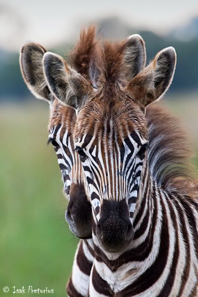 Baby Zebras - South Africa