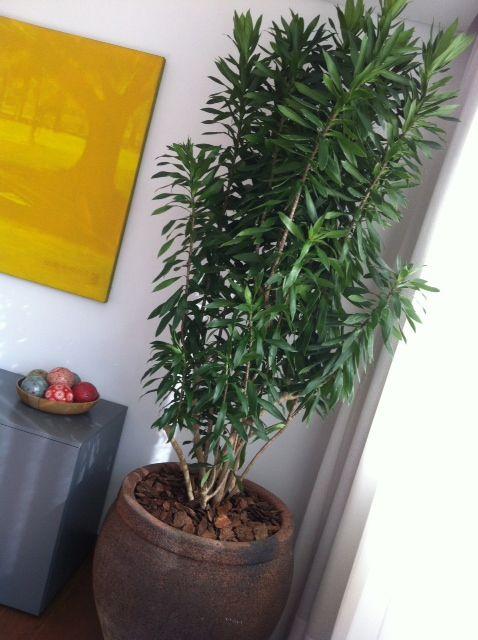 Pleomele reflexa - Pleomele verde | Plantas para o Sul do ...