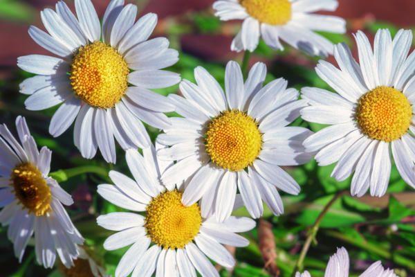 садовые цветы: ЗНАКОМИМСЯ - НИВЯНИК