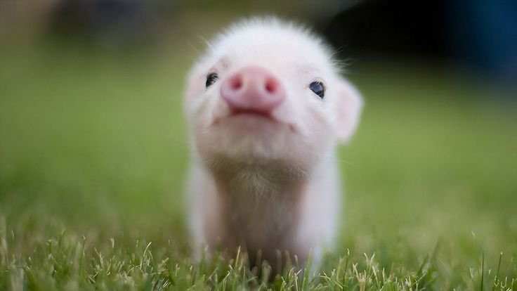 The cutest little pig in the world