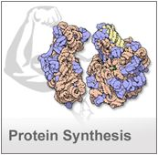 The major molecules of protein synthesis, from DNA to RNA to ribosomes to folded proteins, are available in the PDB archive.