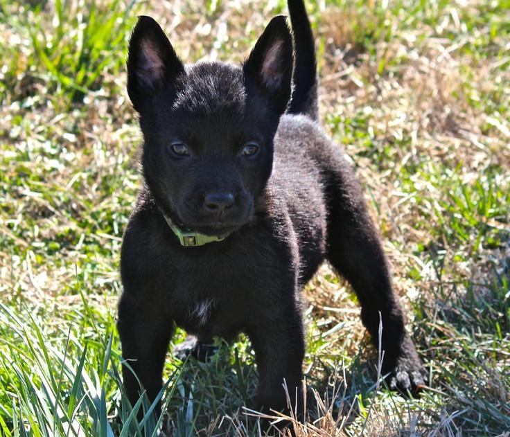 Black Malinois puppy Working Dogs