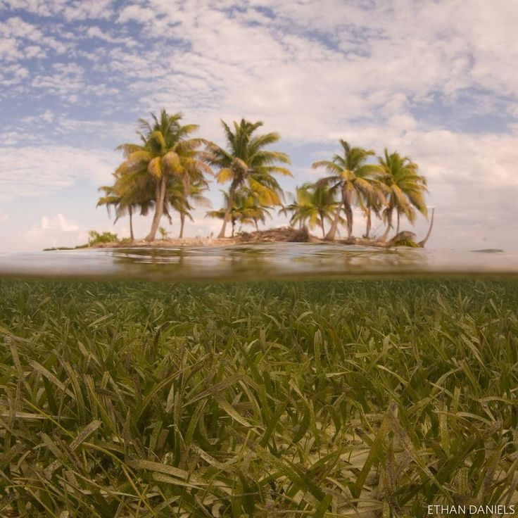 A view of caribbean seagrass and an island in Turneffe Atoll, Belize in the Caribbean. Seagrass meadows are one of the most important marine ecosystems that may not initially come to mind. But similar to terrestrial plants, they capture the sun's energy and generate food and oxygen. They are the most helpful to fish populations and provide critical habitat and protection. A presence of seagrass means significant increases for many species—photo by Ethan Daniels. #caribbean #belize…
