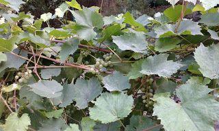 Winogrady: Winogrady i ślady dawnych winnic królewskich