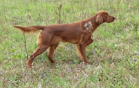 Rosie's mama, Maddie, my great uncle is her owner and he is a Irish Setter breeder I got Rosie from him on my 10 the birthday. Her mom hunts quail, pheasant, registered, and is a very sweet dog all around, may have show lines in her too.