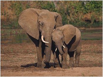 Детям о животных: Слоны