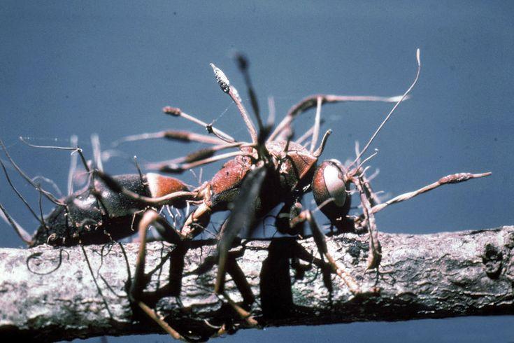 Cordyceps The Most Brutal Of Fungi  Lazer Horse