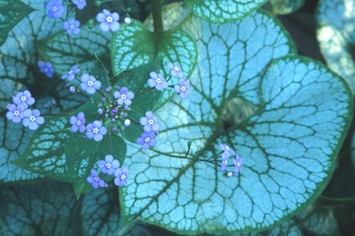 Variegated Siberian Bugloss | Great Plant Picks