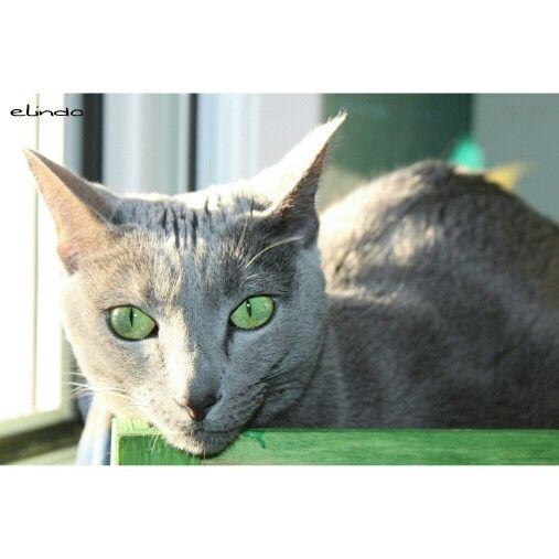 My russianblue cat