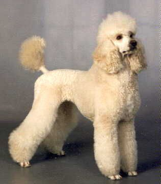 Miniature poodle forum