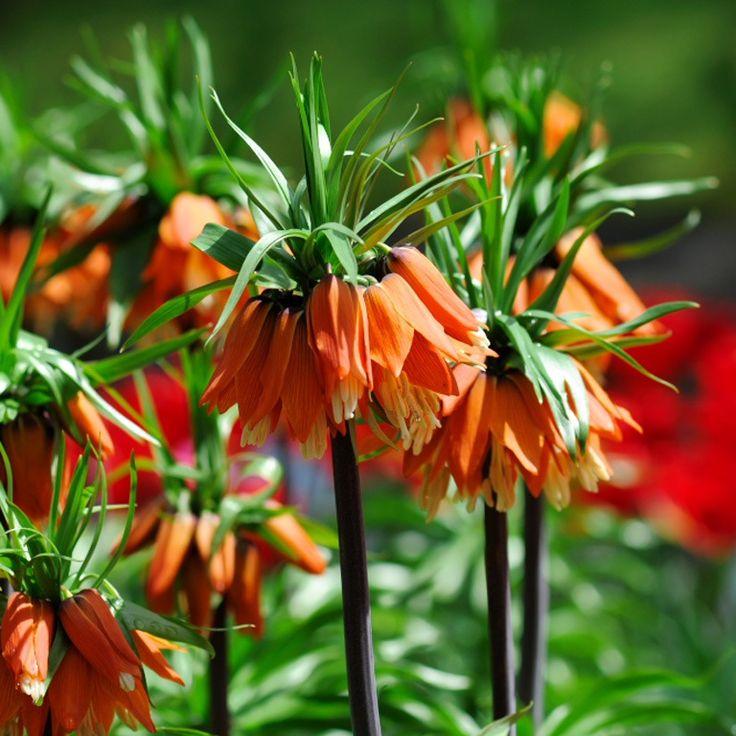 следить цветы царская корона фото одном ряду пекинесами