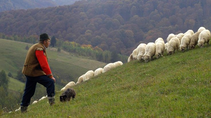 The tradition of transhumance - the seasonal movement of sheep - is still practised in Romania but shepherds say a new law could threaten their way of life.