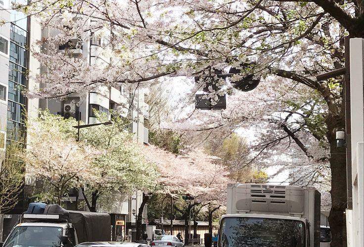 【編集者M】先週末でお花見シーズンは終わりかな?と思っていましたが、少し葉っぱが目立ち始めた程度で、まだまだ桜の花を楽しめそうです先週忙しくてお花見に行けなかった方は、今週に予定を立てるのもアリかもしれませんね
