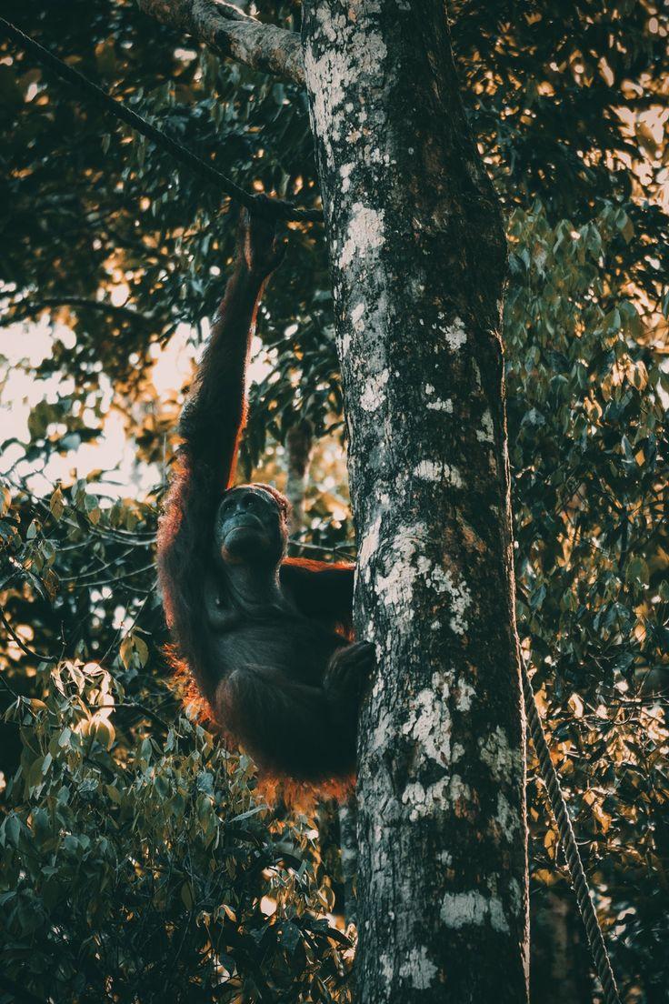 The Orang Utan photo by Deva Darshan (darshan394) on