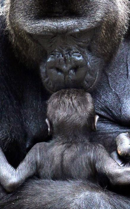 A mother gorilla kissing its baby on the head.