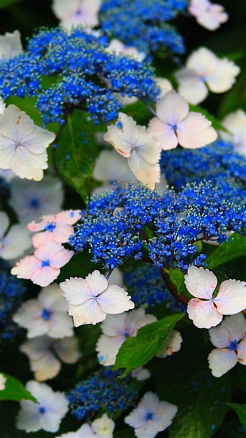 These pretty blue and white flowers are Hydrangea! They are soft and fuzzy...I think the fairies like to sleep in these during the sunny summer months!