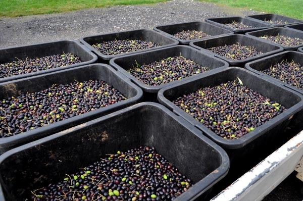 Buckets of fresh olives at Cradle Coast Olives (Abbotsham) awaiting the cold press to produce olive oil. Article and photo by Michelle Kneipp Pegler for www.think-tasmania.com