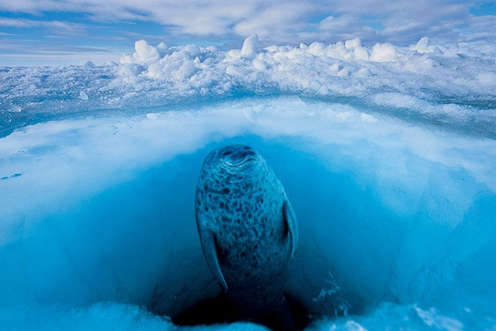 A ringed seal comes up for air in Admiralty Inlet, Nunavut, northern Canada.