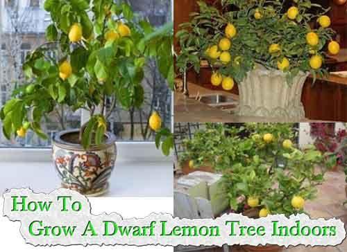 Best 25+ Lemon Tree Potted Ideas On Pinterest | Lemon Tree Plants, Lemon  Plant And Indoor Lemon Tree