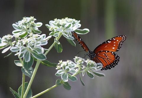 Texas Hill Country shared Joyce Lester Powell's photo.Powell'S Photos, Butterflies, Powell Photos,  Milkweed Butterfly'S,  Danaus Plexippus,  Monarch Butterfly'S, Texas Hill Country, Texas Hills Country