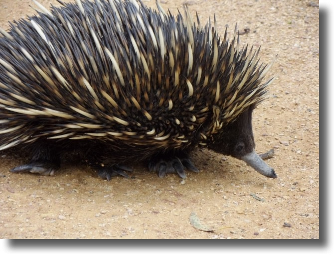 Check out this echidna's clawed feet