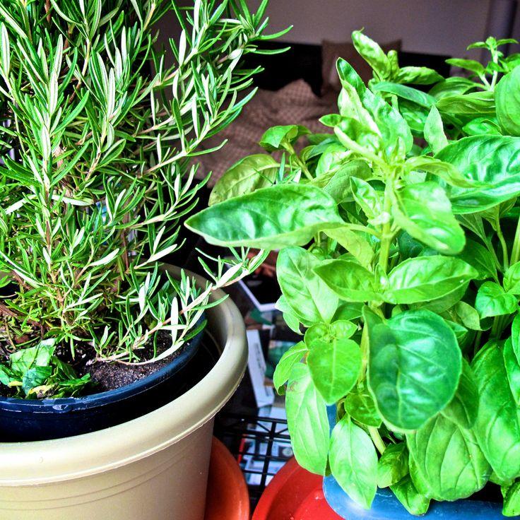 How+to+Start+a+Window+Herb+Garden+  +