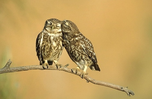 um, how sweet i this?: Snuggles, Best Friends, Animal Photography, Owl, Couple Pictures, Sweet Kiss, Mouths, Sweet Nothings, So Sweet