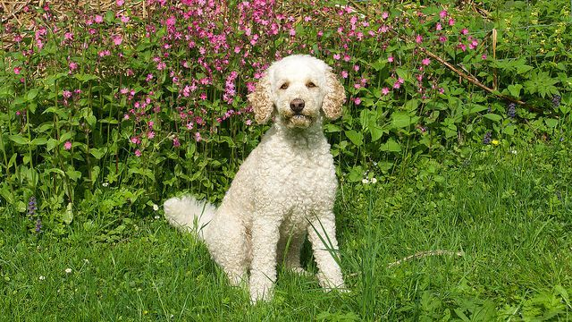 Is Your Poodle Driving You Crazy Dog Secrets The Fastest Way To