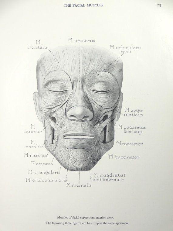 1950's Human Facial Muscles Face Anatomy Original Vintage Print