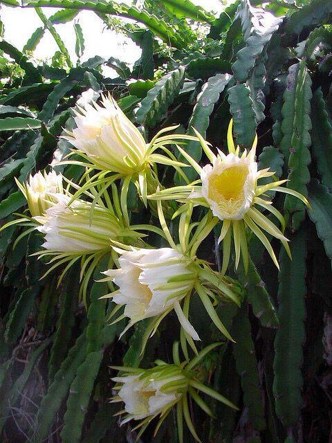 Big Island, Hawaii - Blooming cactus.