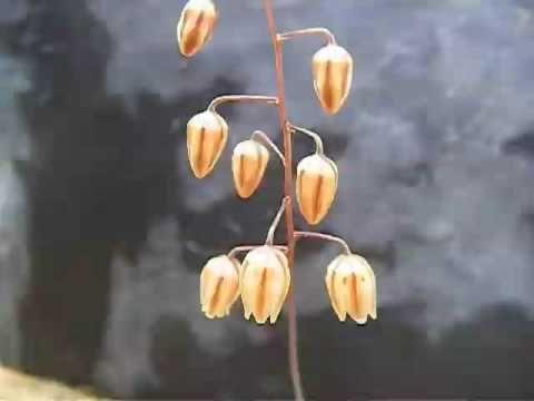 Drimia convallarioides - YouTube