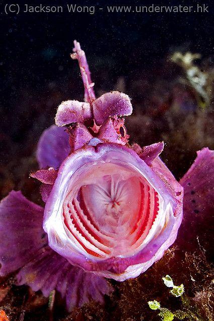 Eschmeyer's scorpionfish yawn